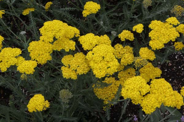 ACHILLEA 'Little Moonshine'