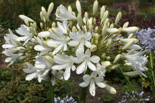 AGAPANTHUS 'Cambridge'