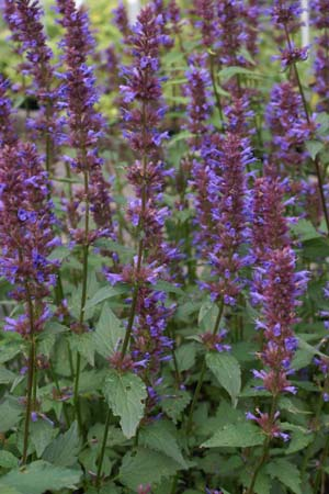 Agastache 'Spicey'
