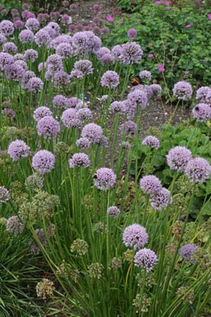 Allium 'Tasty Surprise' (was A.turkestanicum)