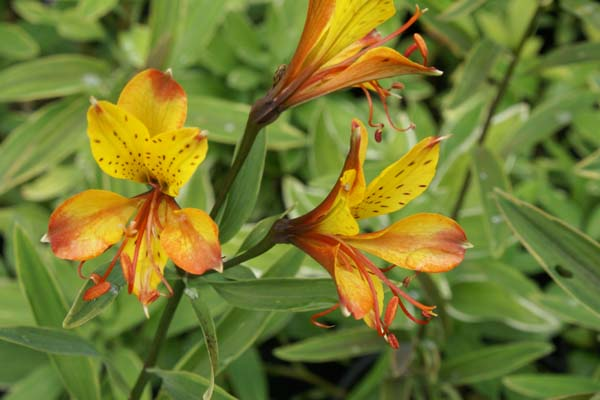 ALSTROEMERIA 'Glory of the Andes'