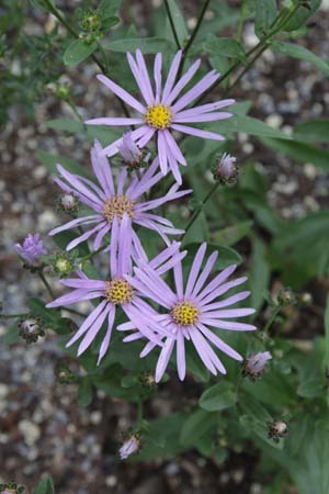 ASTER amelloides NCE335