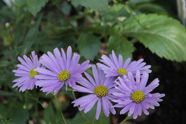 ASTER 'Bart's Blue Beauty'