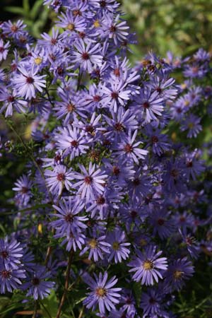 ASTER cordifolius hybr. 'Little Carlow'
