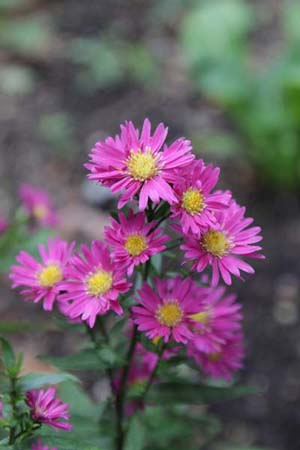 ASTER 'Elie's Red Star'