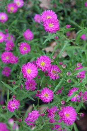 ASTER ericoides 'Pixie Red Eye'