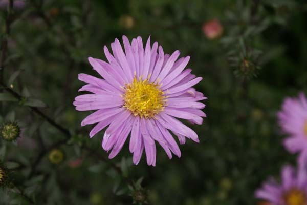 Aster 'Glow in the Dark'