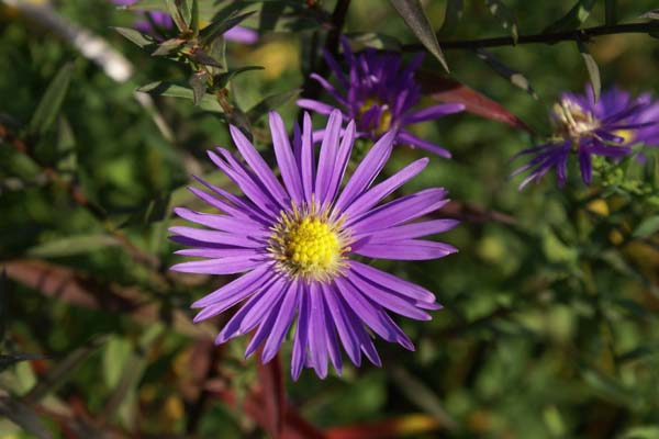 ASTER 'Looman's Blue'