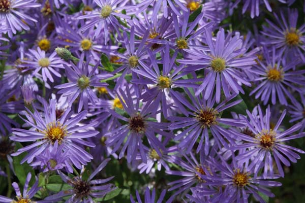 ASTER macrophyllus 'Twilight'
