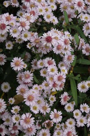 ASTER 'Pink Buttons'