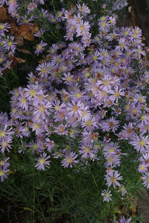 Aster pringlei 'Blue Butterfly'