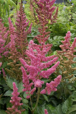 ASTILBE 'Visions in Pink'