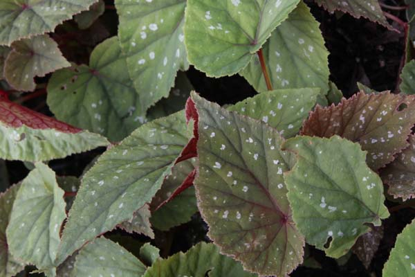 Begonia grandis 'Sparkle and Shine'