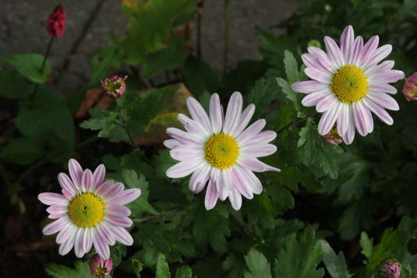 Chrysanthemum 'Hebe'