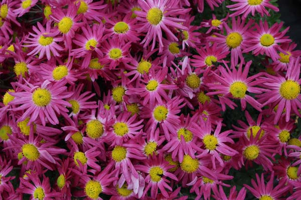 CHRYSANTHEMUM 'Pink Sensation'