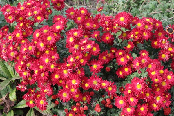 Chrysanthemum 'Winning's Red'