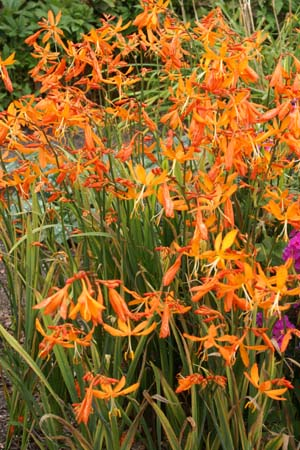 Crocosmia 'Golden Ballerina'