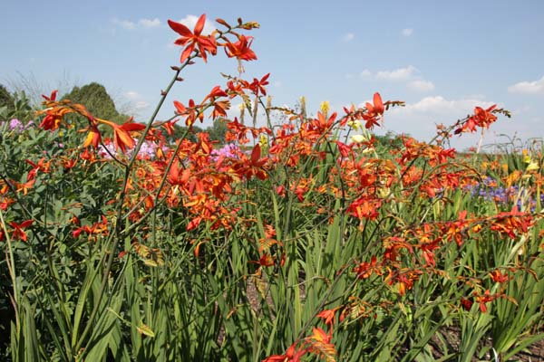 Crocosmia x crocosmiiflora 'Castle Ward'