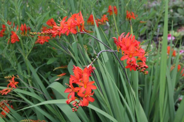 Crocosmia x crocosmiiflora 'Red Knight'