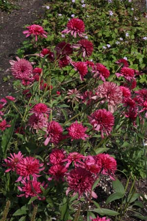 Echinacea tennesseensis 'Southern Belle'