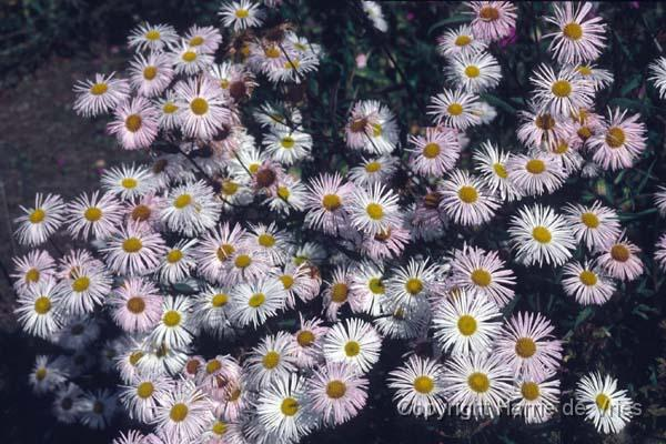 ERIGERON 'Snow White'