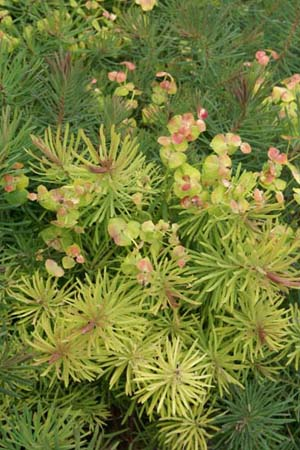 Euphorbia cyparissias 'Fens Ruby'