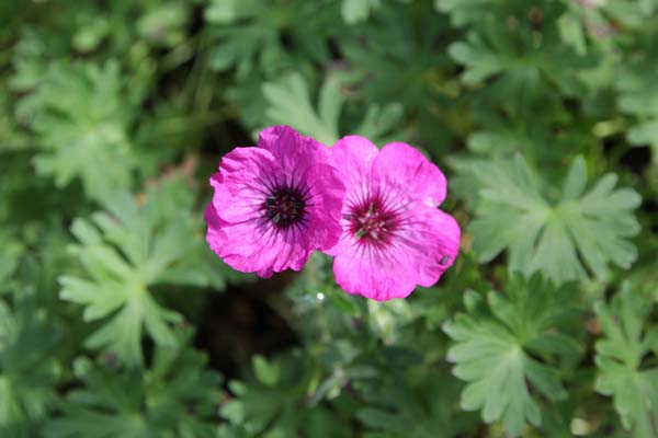 GERANIUM cinereum 'Jolly Jewel Silver'