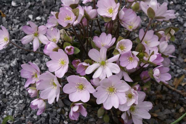 HEPATICA americana 'Marked Leaf Frm'