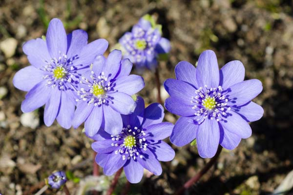 HEPATICA x media 'Harvington Beauty'