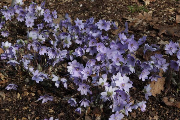 HEPATICA transsylvanica 'Blue Jewel'