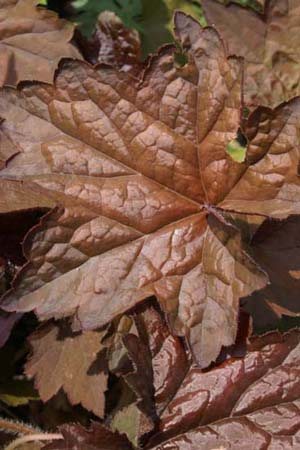 HEUCHERA villosa 'Dark leaved Strain'