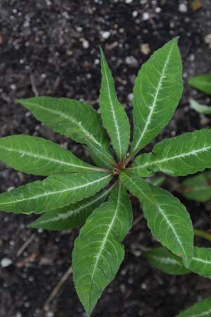 IMPATIENS omeiana 'Silver Striped'