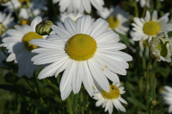 Leucanthemella