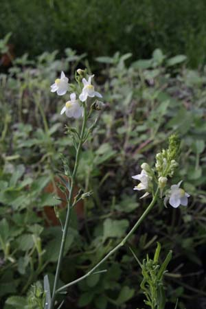 Linaria purpurea 'Poached Egg'