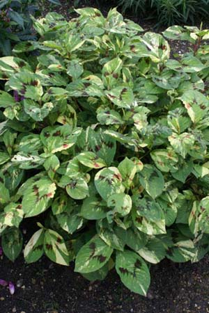 PERSICARIA virginiana 'Painters Palette'
