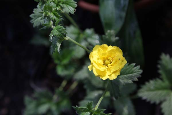 POTENTILLA 'Mont d'Or'