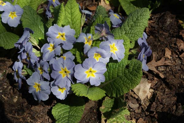 Primula 'Barnhaven Blues'