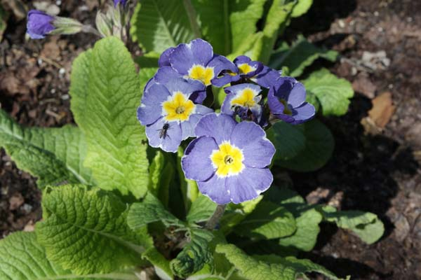 PRIMULA 'Marine Blues'