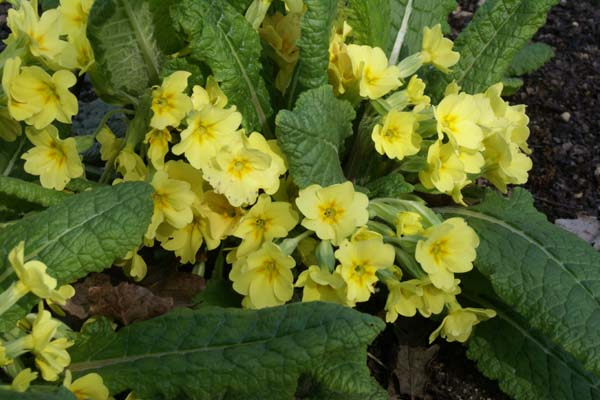 PRIMULA vulgaris 'Turkish Delight'