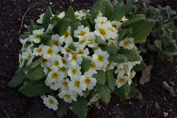 PRIMULA vulgaris 'English Snow'