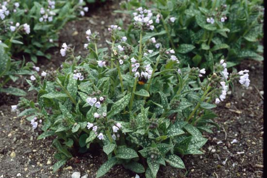 PULMONARIA 'Mrs. Kittle'