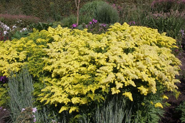 Solidago 'Loysder Crown'