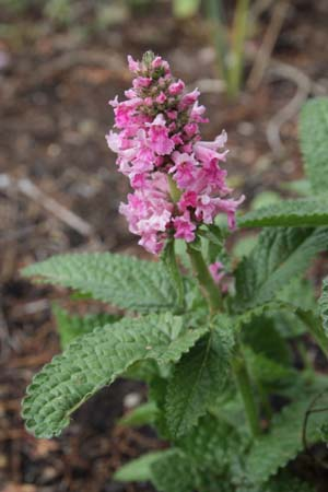 STACHYS officinalis 'Donkerroze'