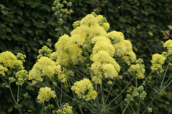 Thalictrum flavum 'Gold Lace'
