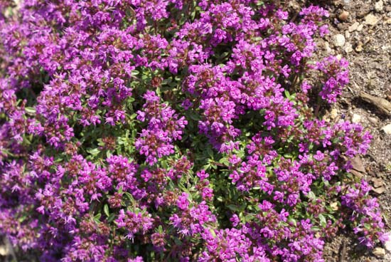 Thymus 'Creeping Red'